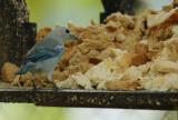 Blue-grey Tanager (Thraupis episcopus) Suriname - Paramaribo, Eco Resort Inn
