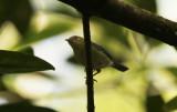 Bicolored Conebill (Conirostrum bicolor) Suriname - Commewijne, Warappakreek