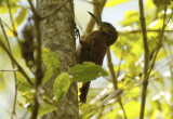Buff-throated Woodcreeper (Xiphorhynchus guttatus polystictus) Suriname - Commewijne, Warappakreek