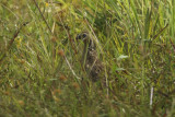 Crested Bobwhite (Colinus cristatus sonnini ) Suriname - Airport