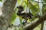 Brown-crested Flycatcher (Myiarchus tyrannulus) Suriname - Commewijne, Warappakreek