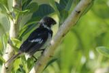 Wing-barred Seedeater (Sporophila americana ) Suriname - North Commewijne, Plantage Bakkie