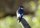 White-winged Swallow (Tachycineta albiventer) Suriname - North Commewijne, Plantage Bakkie
