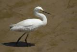 Snowy Egret (Egretta thula  thula) Suriname - Paramaribo