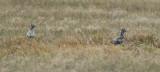 American Golden Plover (Pluvialis dominica) Suriname - Airport