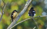 Black-capped Donacobius (Donacobius atricapilla  atricapilla) Suriname - Commewijne, Peperpot Nature Reserve