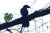 Greater Ani (Crotophaga major) Suriname - Commewijne, Peperpot Nature Reserve