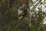 Yellow-rumped Cacique (Cacicus cela) Suriname - Para
