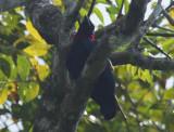 Purple-throated Fruitcrow (Querula purpurata) *male* Suriname - Para, Colakreek