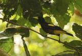 Yellow-rumped Cacique (Cacicus cela) Suriname - Commewijne, Peperpot