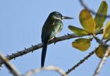 Bronzy Jacamar (Galbula leucogastra) Suriname - Para, Powakka