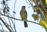 Forest Elaenia (Myiopagis gaimardii) Suriname - Para, Powakka