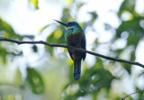 Green-tailed Jacamar (Galbula galbula) Suriname - Commewijne, Peperpot Nature Reserve