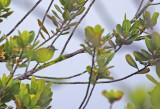 Southern White-fringed Antwren (Formicivora grisea grisea) Suriname - Para, Powakka