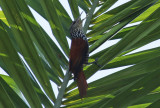 Point-tailed Palmcreeper (Berlepschia rikeri) Suriname - Airport