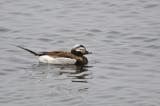 Long-tailed Duck (Clangula hyemalis) male adult breeding - Norway, Berlevåg