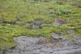 Watersnip / Common Snipe /de Oelemars