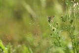 Heideblauwtje (de Oelemars)