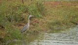 Blauwe Reiger / Grey Heron (de Oelmars)