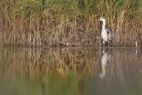 Blauwe Reiger / Grey Heron (Ouddorp)