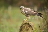 Buizerd / Common Buzzard (Rijssen - Hut Arjan Troost)