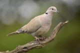Tortelduif / Eurasian Collared Dove (Rijssen - Hut Arjan Troost)