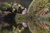 Rosse Woelmuis (Rijssen)