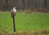 Buizerd / Common Buzzard (Hengelo)