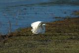 Grote Zilverreiger / Western Great Egret (Hengelo)