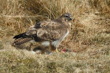 Buizerd / Common Buzzard (Ameland-Hollum)