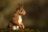 Eekhoorn / Squirrel (fotohut Arjan Troost)