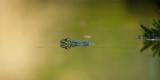 Kikker / Frog (fotohut Arjan Troost)