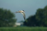 Visdief / Common Tern