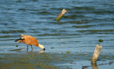 Casarca - Ruddy Shelduck