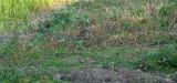 Watersnip / Common Snipe (de Oelemars)