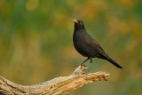 Merel / Common Blackbird