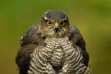 Sperwer / Eurasian Sparrowhawk (hut Espelo)