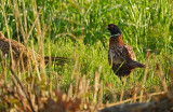 Fazant / Common Pheasant