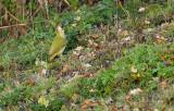 Groene Specht / European Green Woodpecker (de Oelemars)