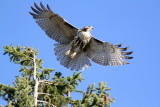 Red-tailed Hawk / juvenile