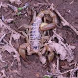 Scorpiones : Scorpions