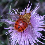 Flies : Diptera