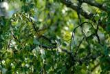 Polyglottsångare / Melodious Warbler