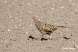 Fasan / Common Pheasant / female