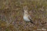 Sånglärka / Eurasian Skylark