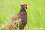 Fasan / Common Pheasant / male