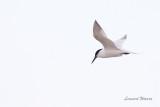 Kentsk tärna / Sandwich Tern