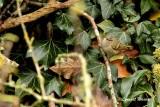 Bergstaigasångare / Hume´s Leaf Warbler