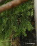Berguv / Eurasian Eagle Owl