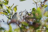 Sibirisk gransångare / Chiffchaff tristis